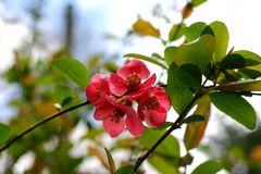 Flowering quince. Flowering quice tree blossom stock photos
