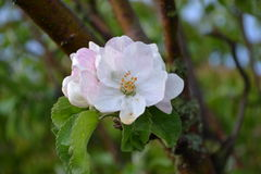 Flowering quince. At the beginning of September Royalty Free Stock Photos