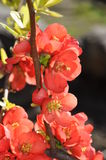 Flowering quince blossoms Royalty Free Stock Photography
