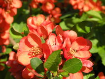 Flowering quince. Branch in spring royalty free stock photos