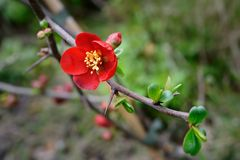 Flowering quince (Chaenomeles x superba) Stock Images
