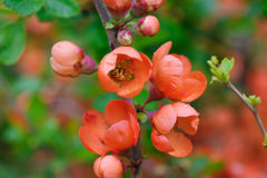 Flowering quince closeup. Blossoms of flowering japanese quince closeup macro Stock Photos