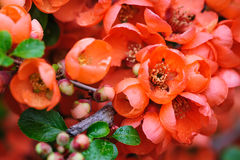Flowering quince closeup. Blossoms of flowering japanese quince closeup macro Stock Image