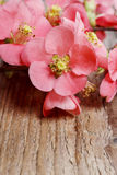 Flowering quince (cydonia oblonga) Royalty Free Stock Image