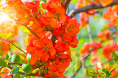 Flowering quince Royalty Free Stock Photos