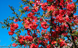 Flowering Quince / Japanese Quince Stock Image