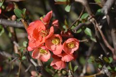 Flowering Quince. Latin name - Chaenomeles x superba stock photography