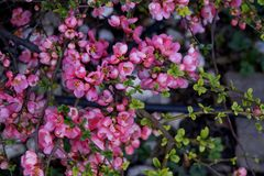 Flowering quince in the South of Russia stock image