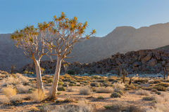 Flowering Quiver Trees Royalty Free Stock Images