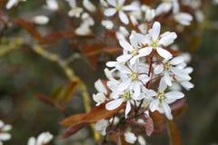 Flowering  raisin tree Stock Images