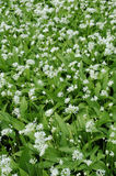 Flowering ramsons Stock Photography