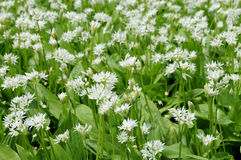 Flowering ramsons Stock Photos
