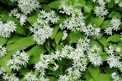 Flowering ramsons Stock Images