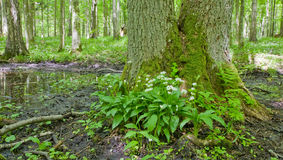 Flowering ramsons at springtime deciduous forest. Against mossy tree trunk royalty free stock images