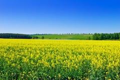 Flowering rape against the blue sky. Royalty Free Stock Photo