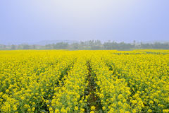 Flowering rape field in foggy sunny spring Royalty Free Stock Photo