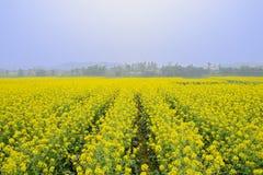 Flowering rape field in foggy sunny spring Royalty Free Stock Photo