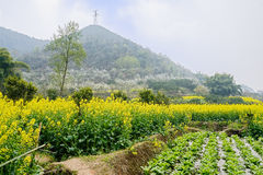 Flowering rape field before mountain ablaze with pear blossom in. Flowering rape field at the foot of the mountain ablaze with pear blossom on the slope in sunny Royalty Free Stock Photography