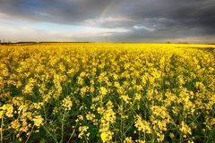 Flowering rape field with in the rural landscape Royalty Free Stock Photography