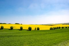 Flowering field and willows, canola fields framed by trees royalty free stock photography