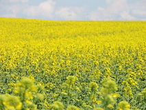 Flowering rape field Royalty Free Stock Photo