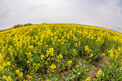 Flowering in the fields of Bulgaria. Bulgaria - occupies a leading position among the Balkan countries on the cultivation of grapes and sunflowers, the stock photography