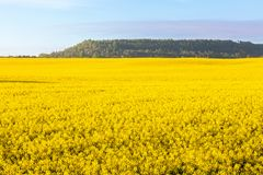 Flowering rape fields Stock Images
