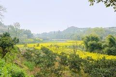 Flowering rape fields in sunny spirng Stock Photo
