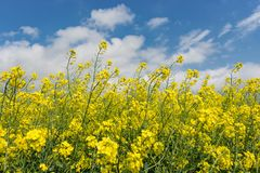 Flowering plants against  blue sky in close up. Raw material for animal feed, rapeseed oil and bio fuel Royalty Free Stock Photography