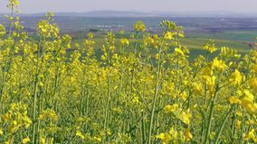 Flowering rapeseed canola field at spring day, bio fuel, oil stock video footage