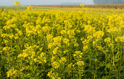 Flowering rapeseed  on a dewy morning Stock Photos