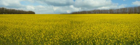 Flowering rapeseed field. Yellow field and a beautiful sky (canola � oilseeds Royalty Free Stock Photography