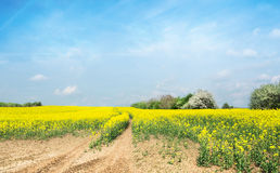 Flowering rapeseed field against  blue sky Stock Photos