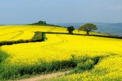 Flowering rapeseed field Stock Image