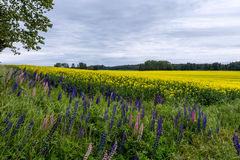 Flowering rapeseed field and lupines on the foreground. Finland Stock Photos