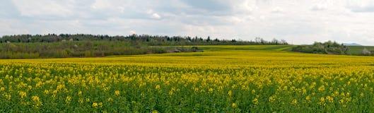 Flowering rapeseed field Royalty Free Stock Photo