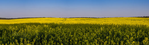 Flowering rapeseed field panorama Royalty Free Stock Photo