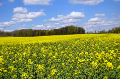 Flowering rapeseed field Royalty Free Stock Photos