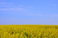 Flowering rapeseed field. Under the sky royalty free stock photo