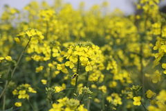Flowering rapeseed field Stock Photos