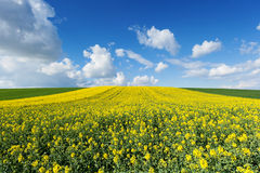 Flowering rapeseed field Royalty Free Stock Photography
