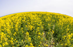 Flowering rapeseed to the horizon in Bulgaria Royalty Free Stock Photo