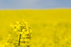 Flowering rapeseed Stock Photography