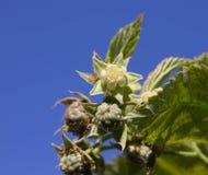 Flowering raspberry Stock Images