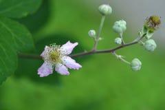 Flowering raspberry stock image