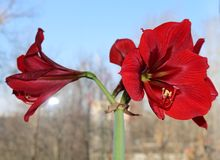 Flowering red amaryllis Royalty Free Stock Photography