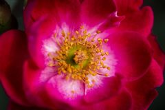 Flowering red and burgundy Peony royalty free stock photography