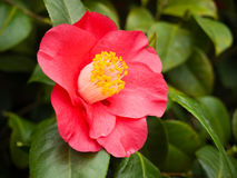 Flowering red camellia. Detail of flowering red camellia royalty free stock photography