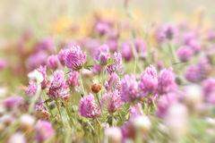 Flowering red clover Stock Photo