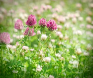 Flowering red clover Royalty Free Stock Photo